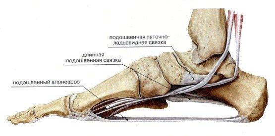 скелет стопы сбоку